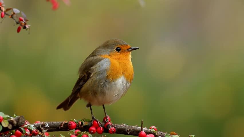 European robin singing | Shutterstock HD Video #1019782297