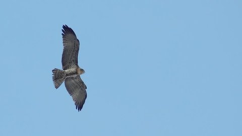 Short toed snake eagle spreading wings  hovering still in clear blue sky background looking for prey ,4K video. Bird of prey in flight ,low angle view.