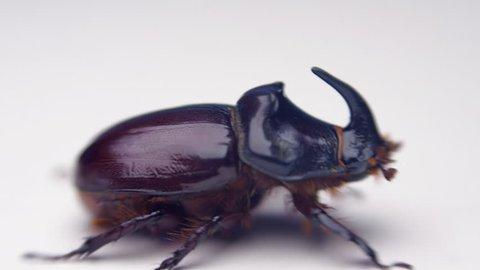 Shiny rhinoceros beetle crawling on the white surface. Macro