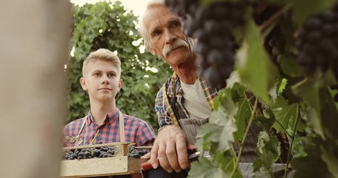 Senior grandad with thick moustache working on vineyard, picking red sweet grapes, and teaching his young unexperienced grandson - family affair, tradition 4k
