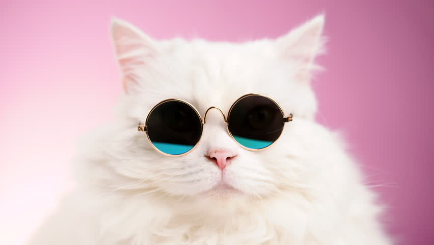 Close portrait of white furry cat in fashion sunglasses. Studio footage. Luxurious domestic kitty in glasses poses on pink background wall. 4k