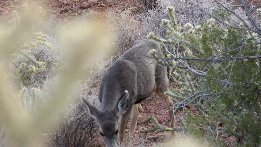 Deer foraging in cholla cactus desert.  Shot taken at Red Rock Canyon National Conservation Area in the Spring Mountains near Las Vegas, Nevada. | Shutterstock HD Video #1020016447
