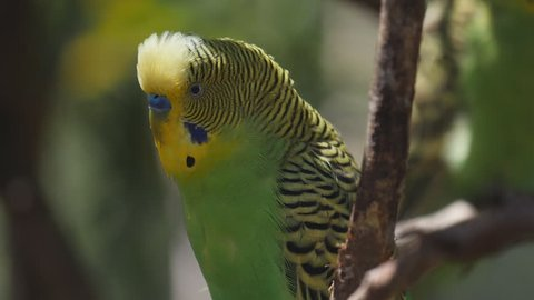 180p slow motion close up of a green and yellow budgie inside a walk-in avairy at a bird park in new south wales, australia
