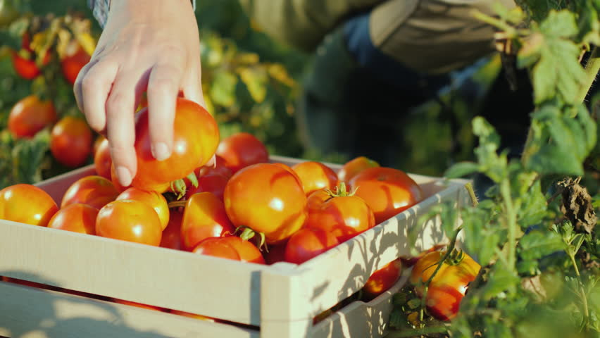 Hands worker put a tomato in a box. Harvesting in the field, organic products | Shutterstock HD Video #1020200437