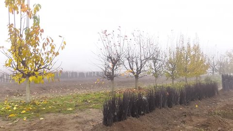 One year cultivar fruit tree labeled rootstock with open root system. Clone stock seedlings. Planting material. Growing fruit tree seedlings. Stock with root system. Stock for seed crops.