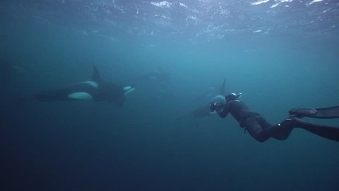 orcas hunting for herrings in the fjords of northern norway