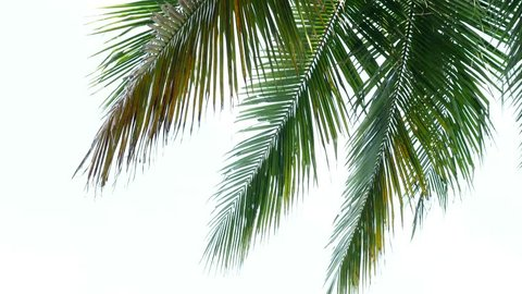 Tropical beach palm coconut leaves on white background.