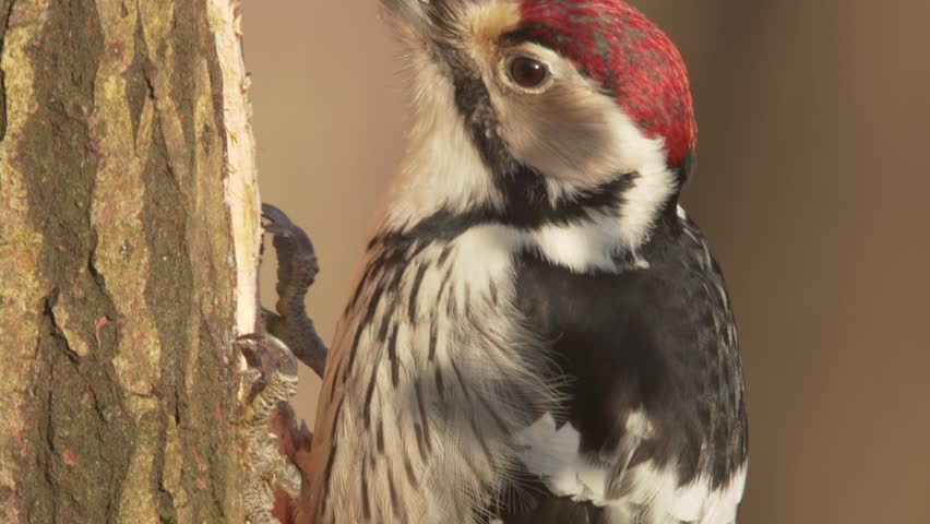 White-backed woodpecker. Close-up of the feeding bird. Adult male. Dendrocopos leucotos. | Shutterstock HD Video #1020626377