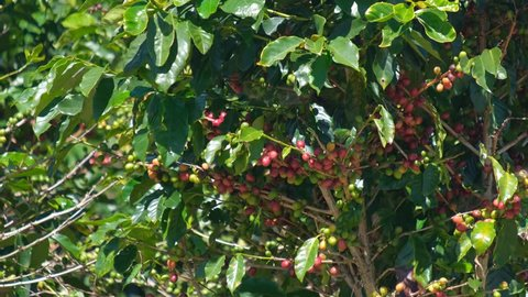 Coffee bean on coffee tree in cafe plantation. Royalty high-quality free stock video footage of coffee tree with red ripe fruit on tree in cafe farm and plantations. Vietnam agriculture