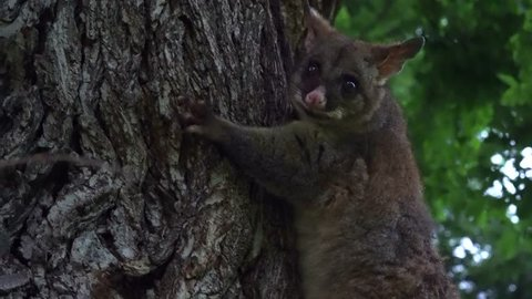 Australian possum in a tree (marsupial)