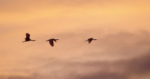 A gorgeous shot of a flock of Roseate Spoonbill birds flying in slow motion at sunset with beautiful clouds and golden hour sky