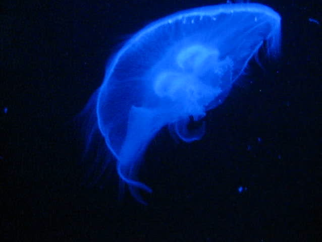 "Translucent, illuminated jellyfish floating upwards. (Moon jelly, or ""Aurelia aurita"")"