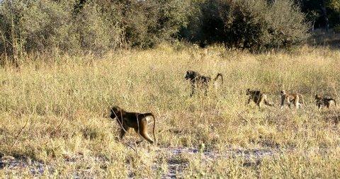 monkey Chacma Baboon (Papio anubis) family in african savanna, Bwabwata Caprivi strip game park, Namibia, Africa safari wildlife