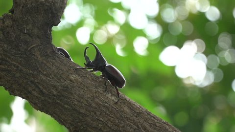 Close up of rhinoceros beetle (Xylotrupes gideon) or fighting beetle on the tree