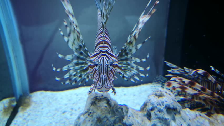 Aquatic fish in the aquarium with beautiful coral reefs and seagrass. Small fish with colorful light, suitable for display. #1021332367