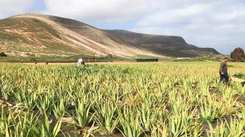 LANZAROTE, SPAIN - DEC 13, 2018: Aloe vera field plantation in north part of the island with working farmers, Lanzarote, Canary Islands, Spain, 4k footage video.