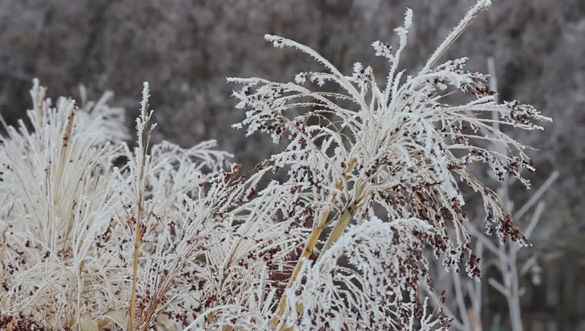Corn stalks are covered with hoarfrost, Snow, early winter. Selective focus, close-up. | Shutterstock HD Video #1021501327