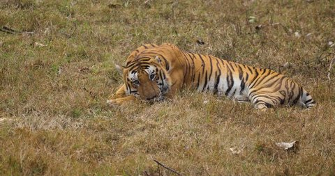 Royal bengal tiger from South India
