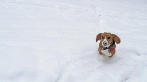 Beagle Dog Running through High snow towards the camera