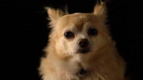 cute brown color hair chihuahua dog studio with black background