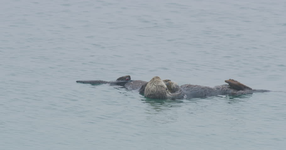Slow motion of sea otter and baby sleeping in Morro Bay, California #1021738807