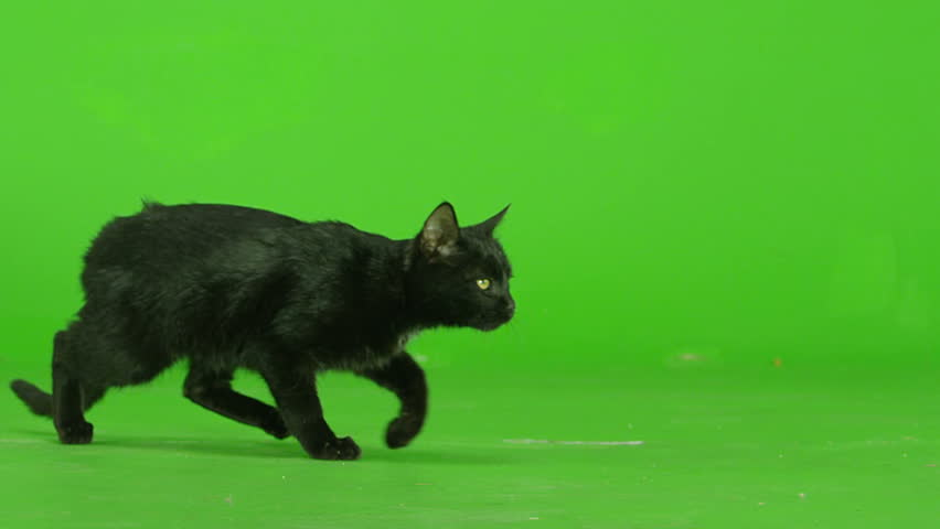 Black Cat walking, running or sitting on green screen. Shot on RED EPIC DRAGON Cinema Camera in Slow Motion.
