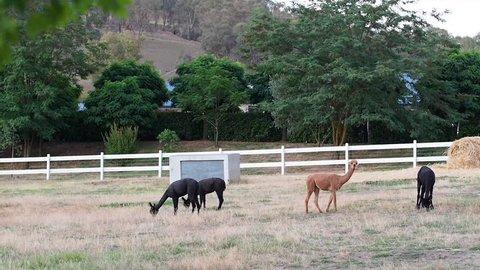 Alpacas in the farm