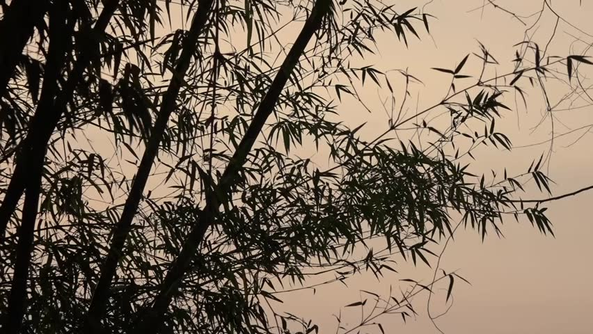 bamboo leaf in black silhouette in the morning