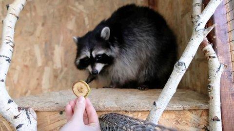 Girl feeding a raccoon in a zoo