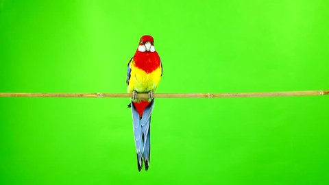 Rosella parrot on a stick on a green screen.