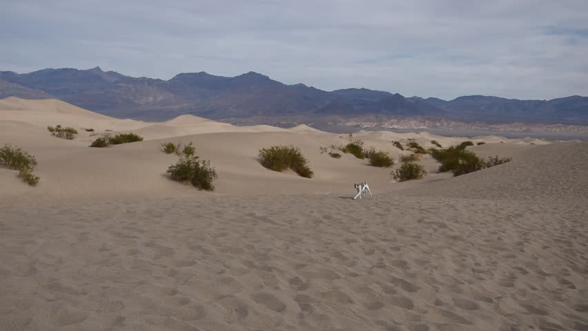 Small dog running on the dune in Death Valley (California) | Shutterstock HD Video #1022266747