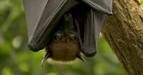 Close up of head and top of wings of a fruit bat, or flying fox, hanging upside down facing the camera. Its wings are folded across its body, covering its nose and mouth.