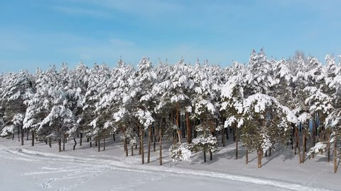 Flying over a Snowy Winter Forest on a Sunny Day. Aerial view on Winter pine forest. Panoramic view from the drone on the snow-covered tops of the trees.