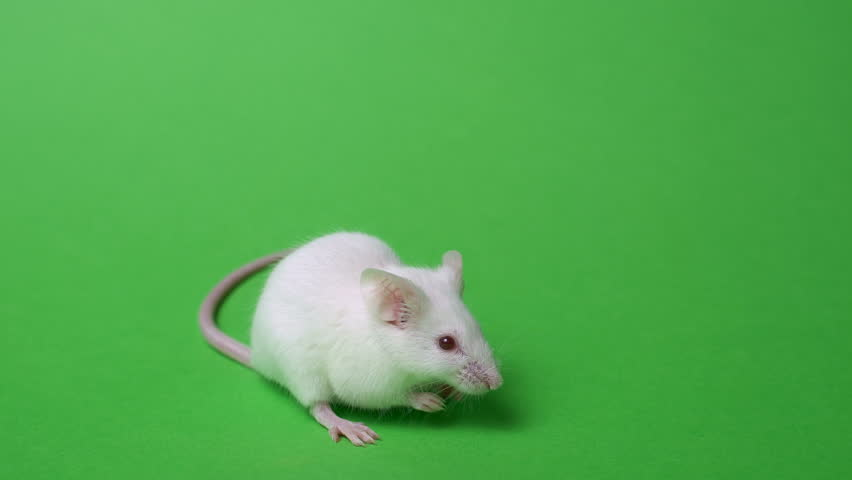 White laboratory mouse on a green background. Concept - animal experiments, vaccine trials, drugs #1022437507