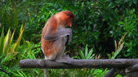 Proboscis Monkey sitting and looking to the another side, Borneo, Sandakan in the rainy day