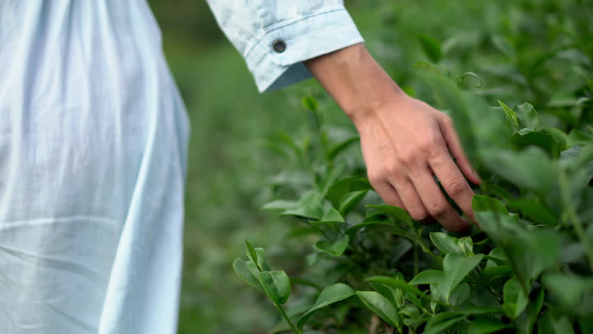 4k Dolly shot close up rear view of young woman in pale blue dress walking on the tea plantation field in summer. Woman hand touching and stroking top of tea tree plant under sunlight in fresh morning | Shutterstock HD Video #1022650537