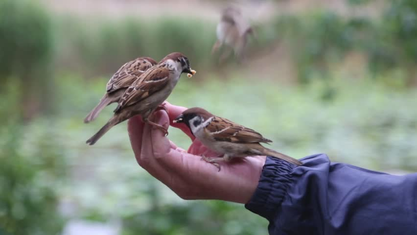 Man feeds from the hands of birds sparrows in a park in Tokyo, Japan | Shutterstock HD Video #1022780527