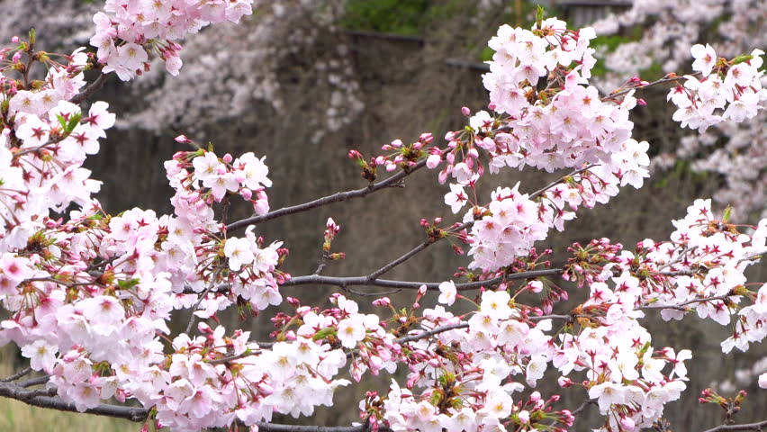 Beautiful Sakura or cherry blossoms spring Meguro River in Tokyo Japan | Shutterstock HD Video #1022782507