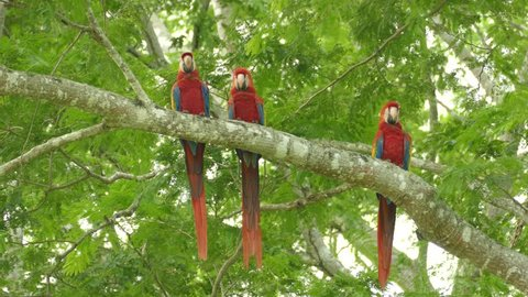 Extended sequence of 3 large parrot birds sitting on the same branch