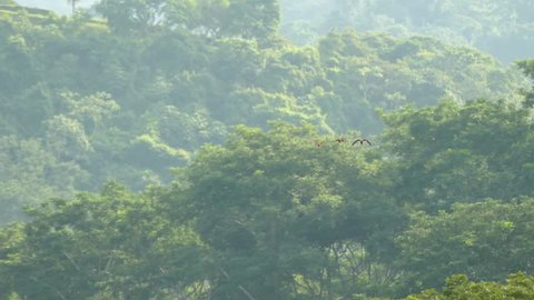 Three Scarlet Macaw parrots flying towards viewer on jungle background