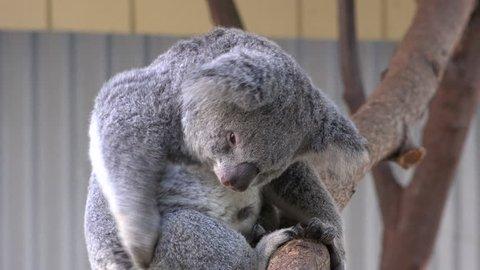 Mid shot of Australian Koala Bear scratching itself on its side hind leg.