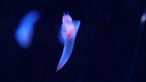 Sea angel swimming in dark deep waters - clade gymnosomata beautiful bioluminescent creature -clione