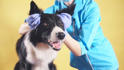 woman touching the ears of dog in the clinic. vet examining the hearing. dog with ear's problems. hearing defect