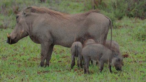 Warthog suckling cute piglets