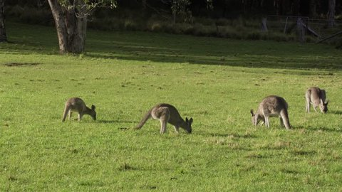 A willy wagtail bird sits on the back of a large kangaroo that is standing erect as other kangaroos feed on grass on a sunny day