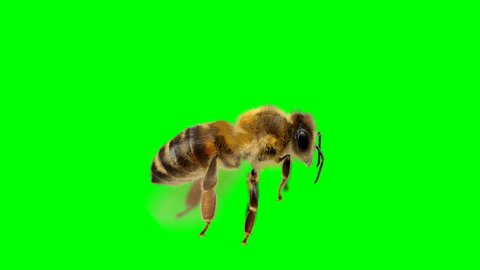 Honey Bee Isolated Flying over a Green Screen