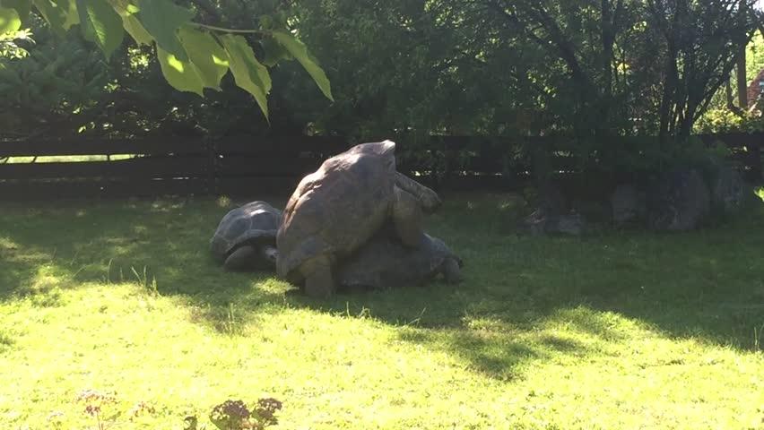 Two Giant Tortoises mating image - Free stock photo - Public Domain photo - CC0 Images