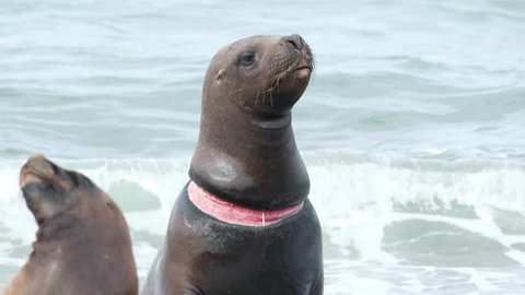 Sea Lion (Otaria flavescens) with neck damage caused by plastic garbage sits on the shore, Patagonia, Argentina.