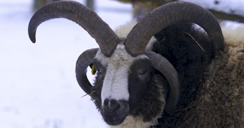 Jacob sheep with four horns looking into camera and than away.