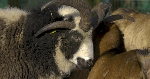 One goat telling / whispering into another's ear, then the other shakes its head.